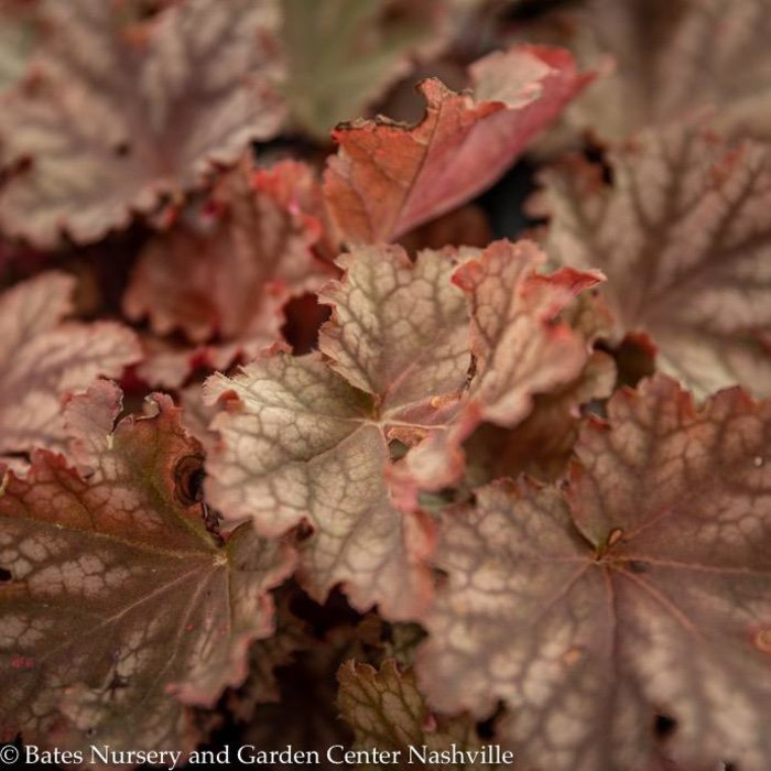 #1 Heuchera Peachberry Ice/Coral Bells