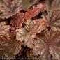 #1 Heuchera Peachberry Ice/Coral Bells