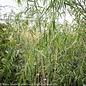 #5 Salix babylonica/Weeping Willow