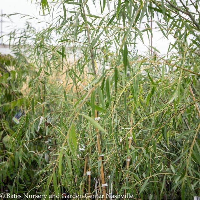 #30 Salix babylonica/Weeping Willow