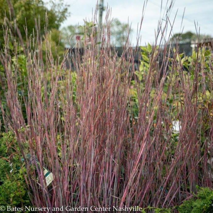 #2 Grass Schizachyrium scop Standing Ovation/Little Bluestem