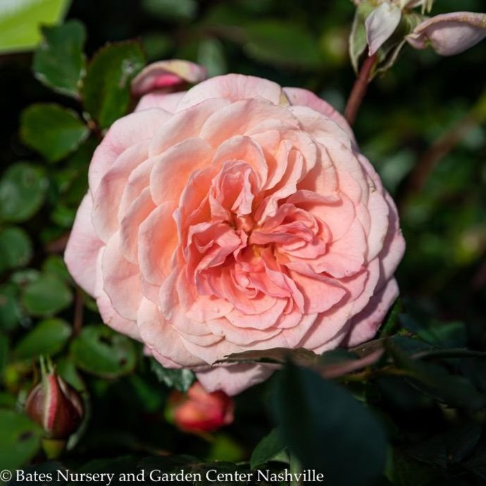 #2s Rosa 'Meiswetdom'/Sweet Drift Dwarf Shrub Rose NO WARRANTY