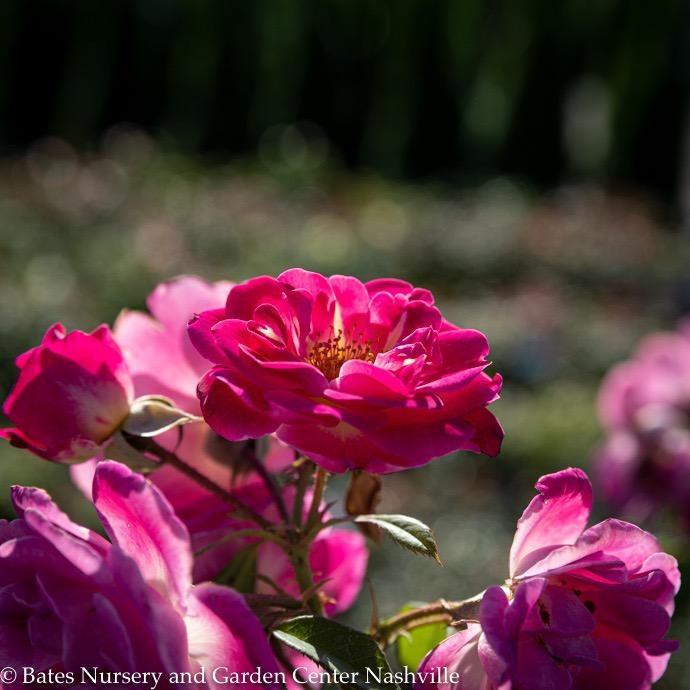 "#3 24""PT Rosa Easy to Please/Floribunda Rose Tree NO WARRANTY"