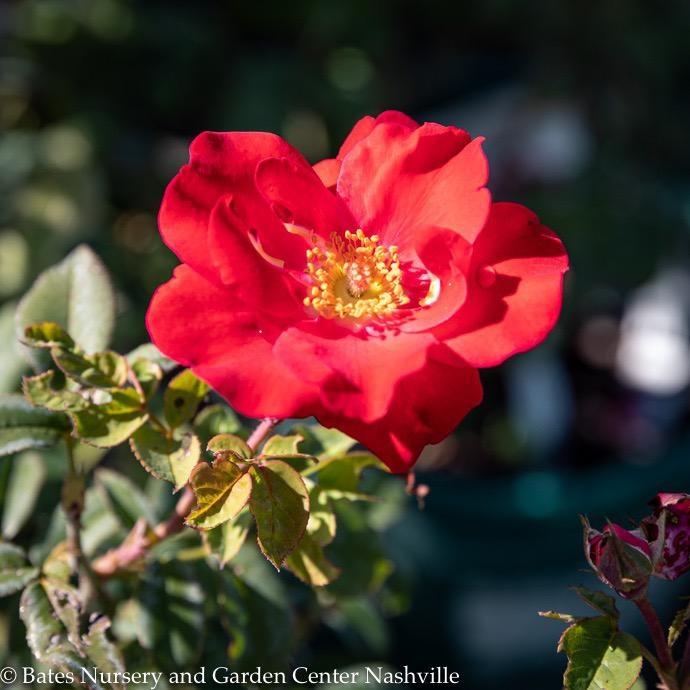 #3 Rosa Top Gun/Shrub Rose Red NO WARRANTY
