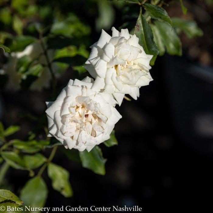 #3 Rosa White Drift/Rose Shrub NO WARRANTY