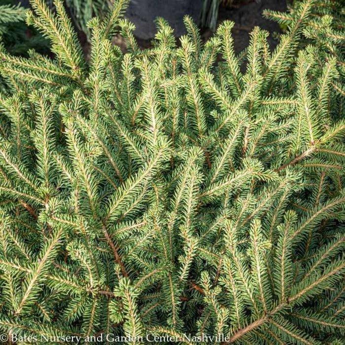 #5 Picea abies Nidiformis/Nest Spruce
