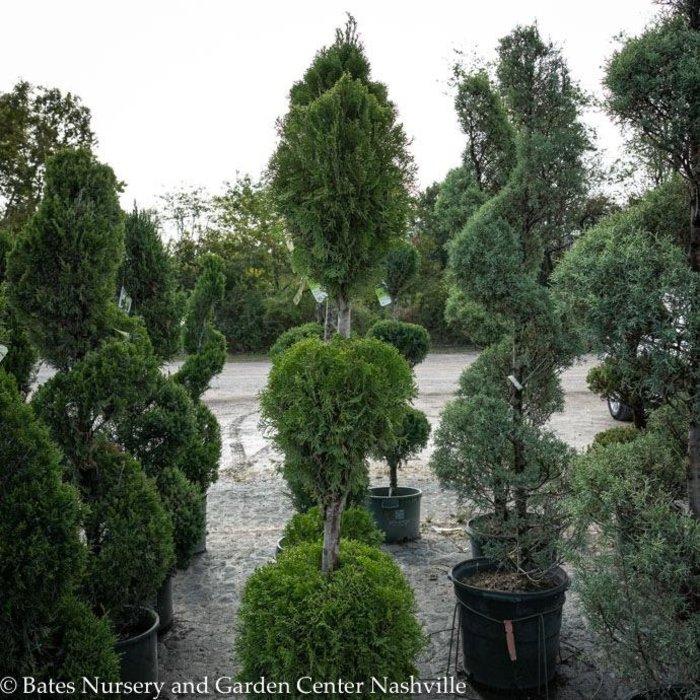 Topiary #10 3-Ball Poodle Thuja occ Smaragd/Emerald Green Arborvitae No Warranty