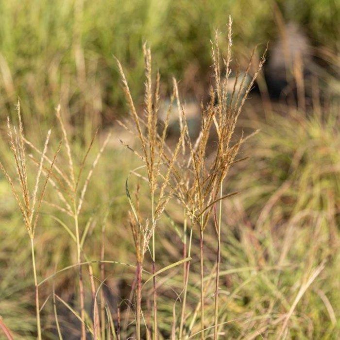 #1 Grass Miscanthus sine Adagio/Maiden Dwarf