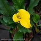 Tropical #1 Calla Lily Yellow