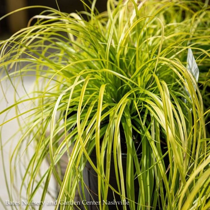 #1 Grass Carex osh EverColor Everillo/Sedge Golden