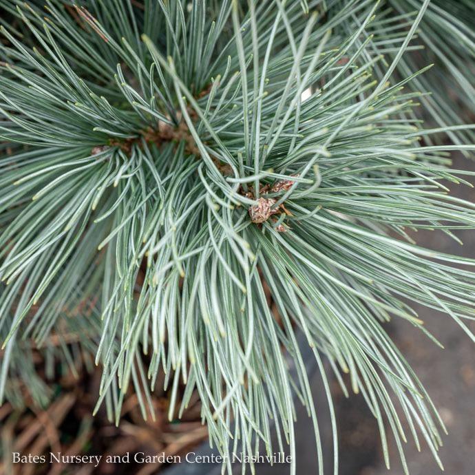 #6 Pinus flexilis Extra Blue/Limber Pine