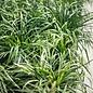#1 Grass Liriope muscari Monroes White/Monkey