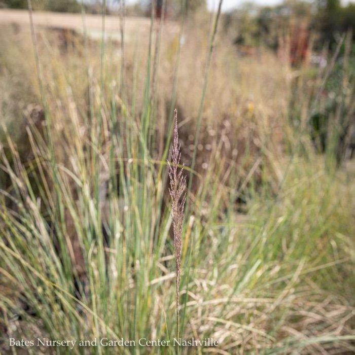 #3 Grass Muhlenbergia lindheimeri/White to Pink Tinted Muhly