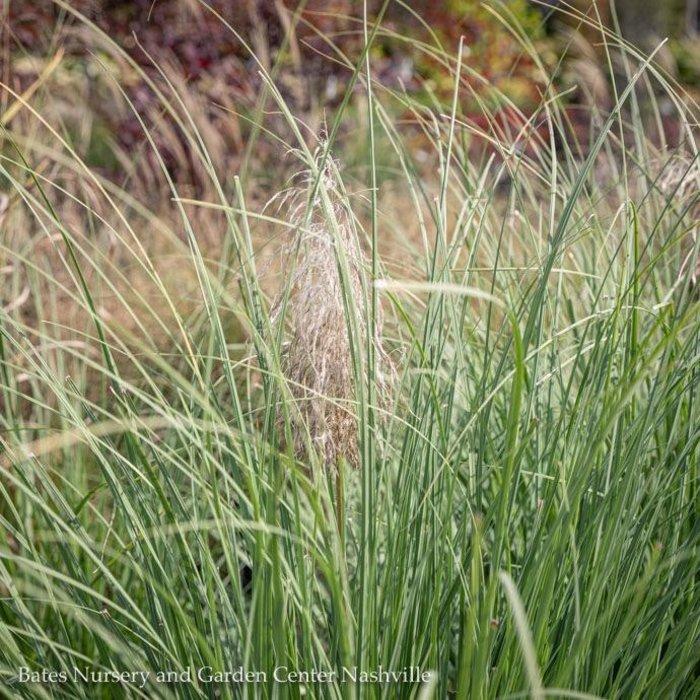 #1 Grass Panicum virg Dallas Blues/Switch