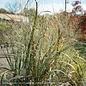 #3 Grass Panicum virg Thundercloud/Switch