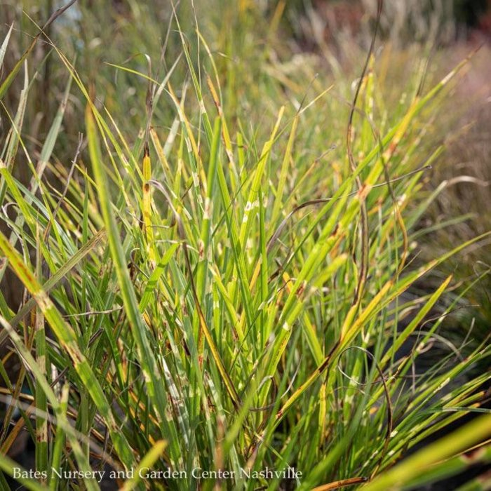 #2 Grass Miscanthus sine Strictus/Porcupine Variegated