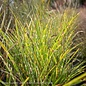 #1 Grass Miscanthus sine Strictus/Porcupine Variegated