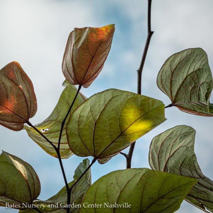 #25 Cercis can Burgundy Hearts/Redbud Purple Foliage