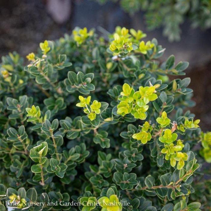 #3 Buxus microphylla Little Missy/Dwarf Boxwood