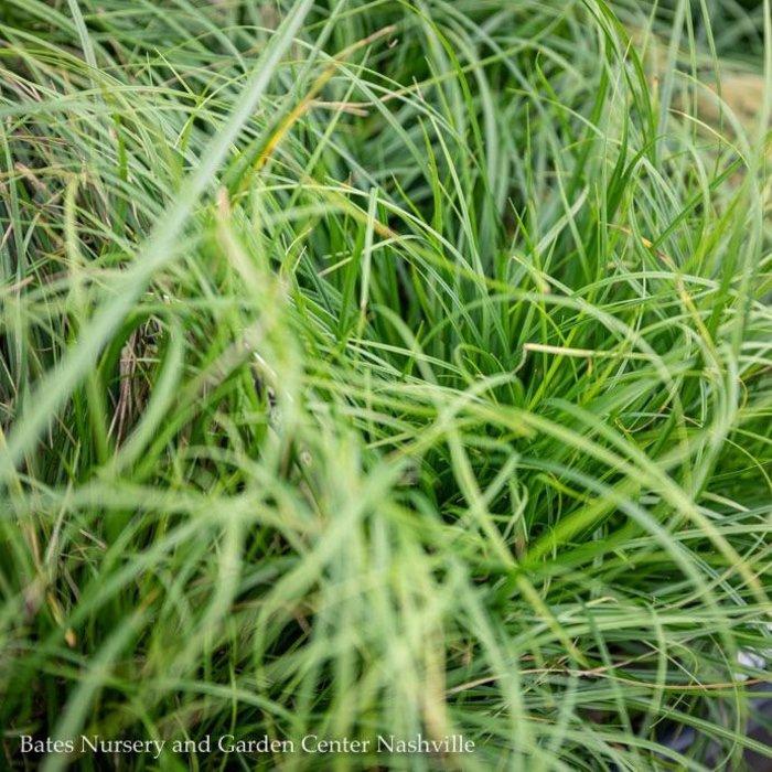 QP Grass Carex Pensylvanica/Pennsylvania Sedge