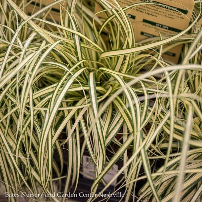 QP Grass Carex osh Evergold/Sedge Variegated