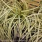 #1 Grass Carex osh EverColor Evergold/Sedge Variegated