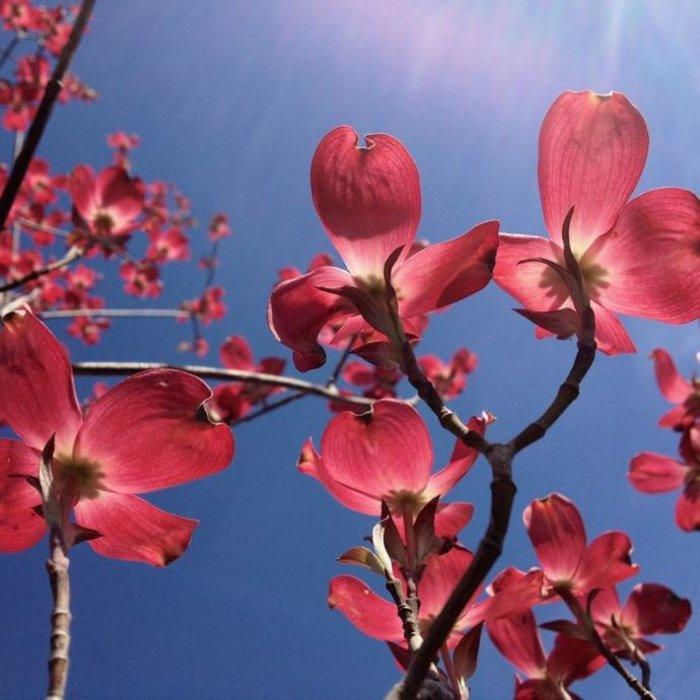 "2"" Caliper Cornus florida Cherokee Brave/Flowering Dogwood Red"