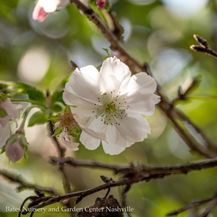 #25 Prunus Autumnalis/Flowering Cherry