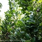 #25 Quercus x warei 'Nadler'/Kindred Spirit Oak Columnar