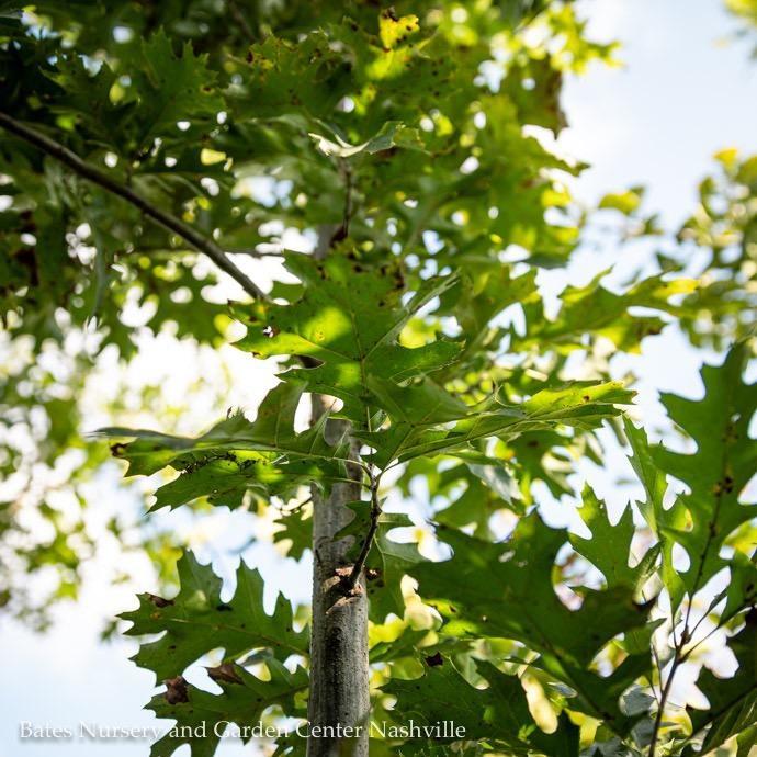 #30 Quercus shumardii/Shumard Red Oak