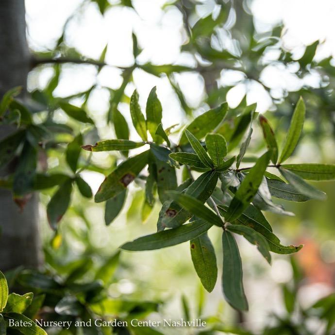 #15 Quercus phellos/Willow Oak
