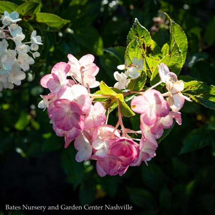 #2 Hydrangea pan Strawberry Shake/Panicle White to Lt Pink