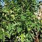 #25 Quercus nuttallii/Nuttall Oak