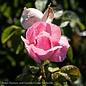 #3 Rosa Peachy Knock Out/Shrub No Warranty