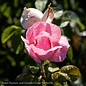 #3 Rosa Peachy Knock Out/Shrub Rose No Warranty
