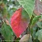 #25 Cornus florida Cherokee Princess/Flowering Dogwood White