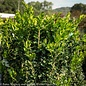 #5 Buxus sempervirens Green Tower/Columnar Boxwood
