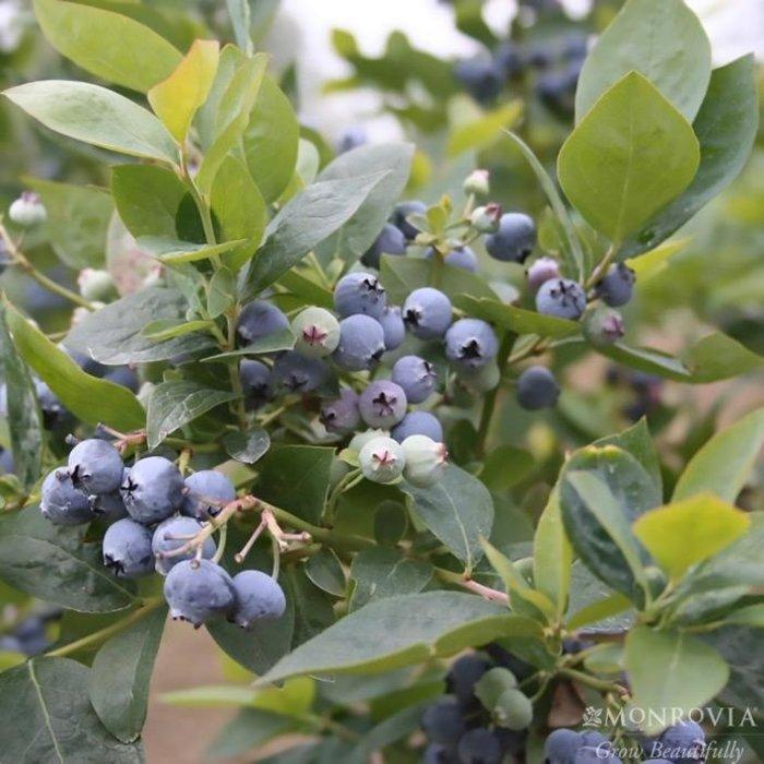 Edible #1 Vaccinium cory Jubilee/Southern Highbush Blueberry