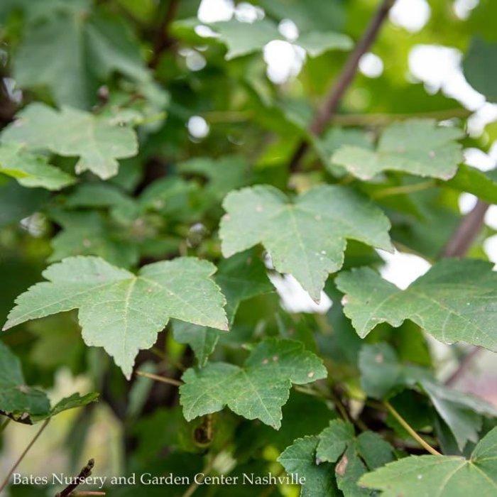 #15 Acer rubrum Brandywine/Red Maple