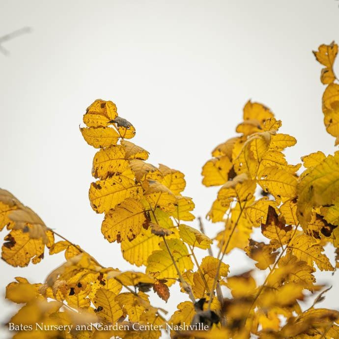 #7 Koelreutaria pan. Gocanzam/Golden Candle Golden Raintree Columnar
