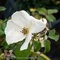 #2 Rosa Knock Out White/Shrub Rose NO WARRANTY