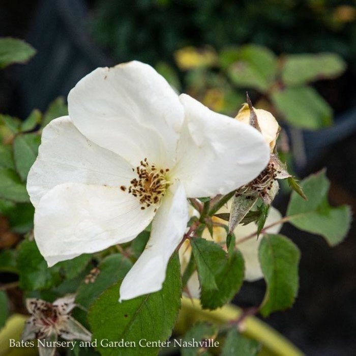 #3 Rosa Knock Out White/Shrub Rose NO WARRANTY