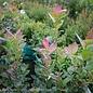 Edible #2 Vaccinium cory Bushel and Berry Peach Sorbet/Highbush Blueberry Dwarf