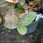 #1 Vaccinium Chandler/Blueberry
