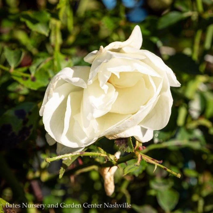 #2 Rosa Flower Carpet White/Rose NO WARRANTY