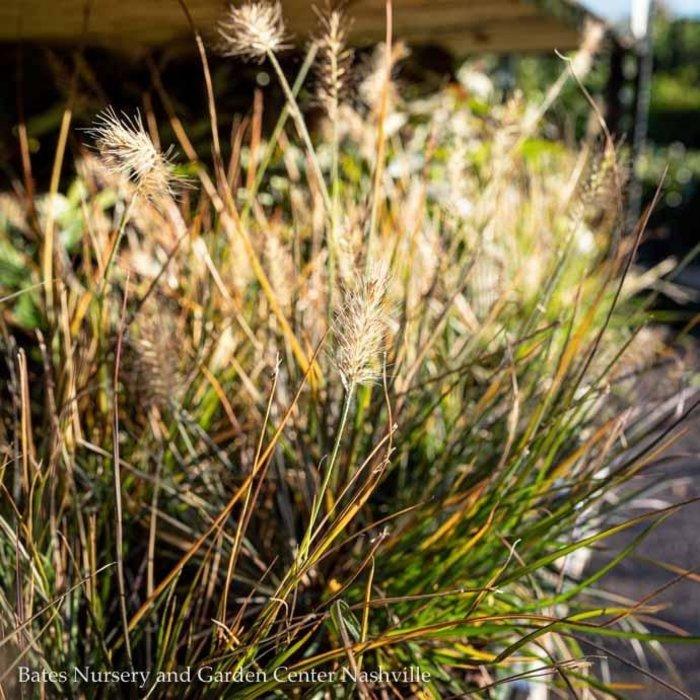 #1 Grass Pennisetum alop Little Bunny/Fountain Dwarf