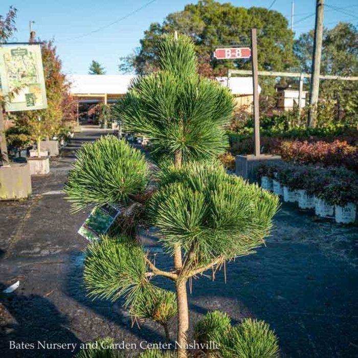 Topiary #10 Oriental PomPon Pinus thun/ Thunderhead Pine
