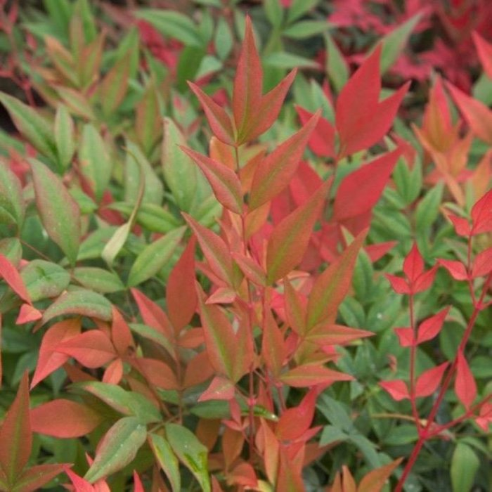 #3 Nandina d. Obsession/Compact