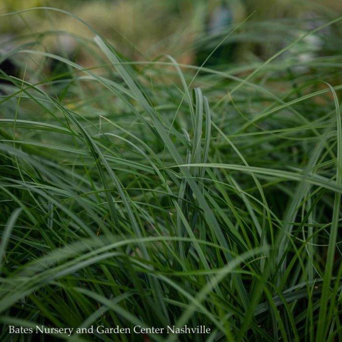 #1 Grass Carex cherokeensis/Cherokee Sedge