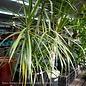 10p! Dracaena Marginata 5 Cane/Staggard /Tropical